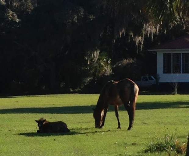 Momma and her baby on the Greyfield Inn property near GoGo Ferguson's shop.