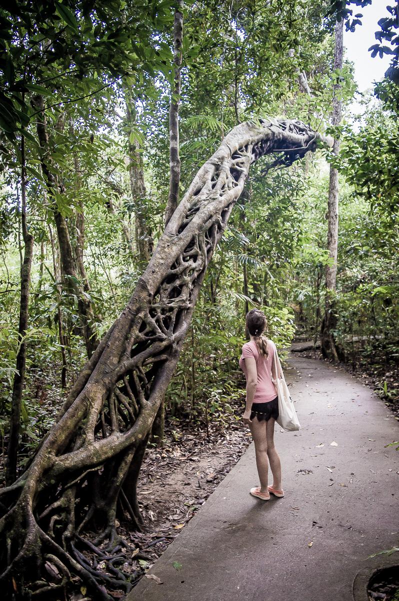 arbre sculpté dans la rainforest de daintree