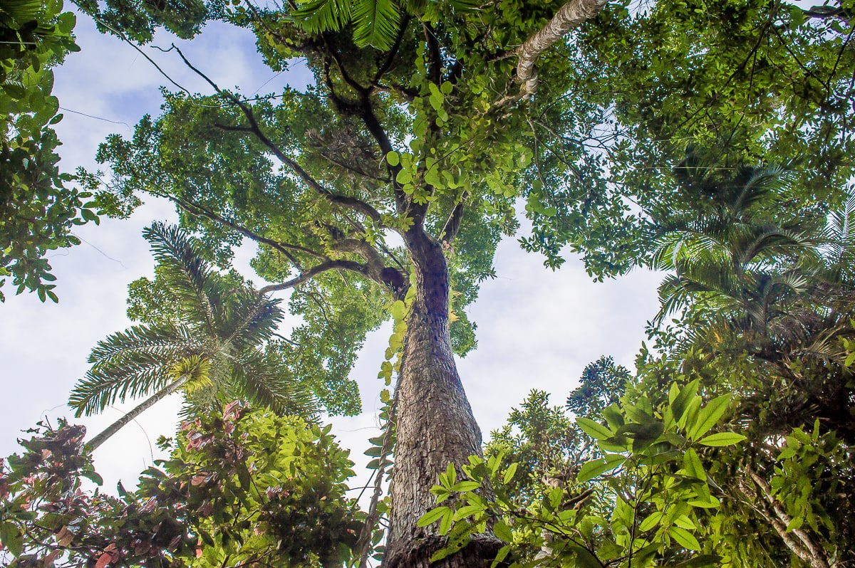 arbres dans la rainforest de daintree