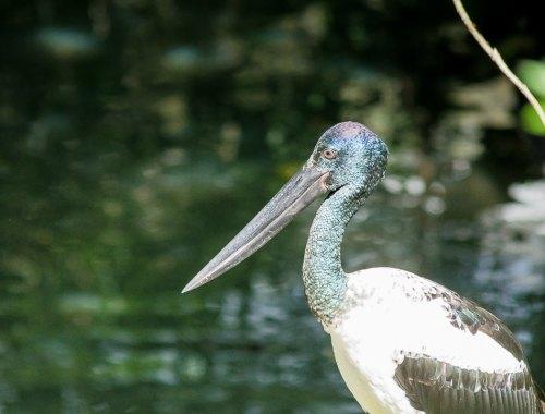 oiseau australien au long bec