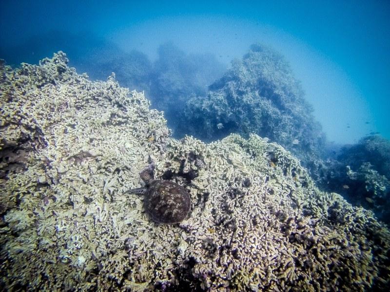 tortue marine à lady musgrave island