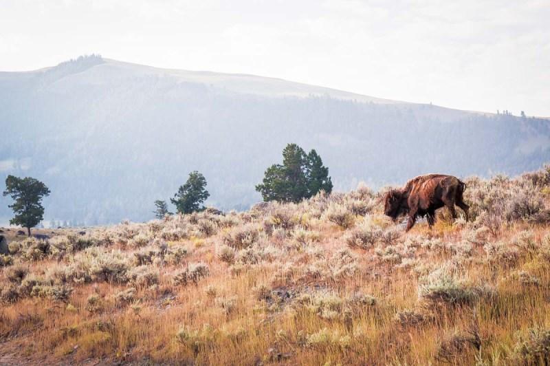 bison dans la Lamar Valley au lever du soleil