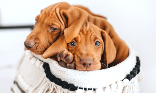 brown puppies hiding in a basket