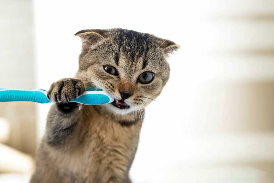How do I Brush My Cat's Teeth