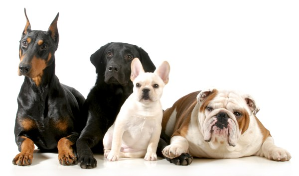 different types of dogs breeds laying together, isolated on white background
