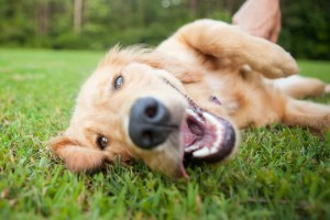 how to teach dog to roll over featured image