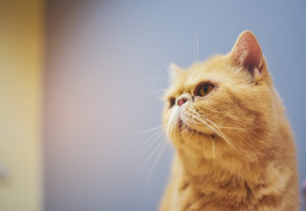 orange yellow cat is drooling out of his mouth