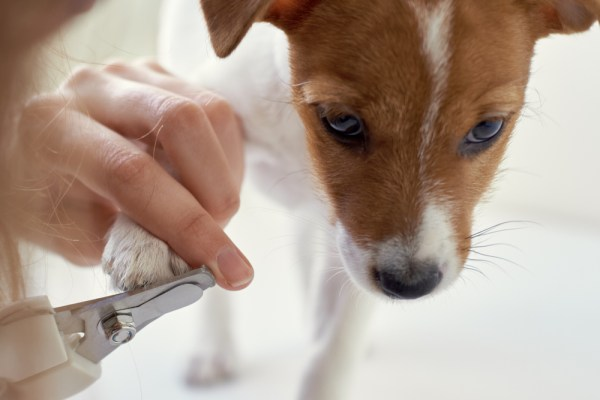 owner cuts nails of jack russel terrier puppy dog
