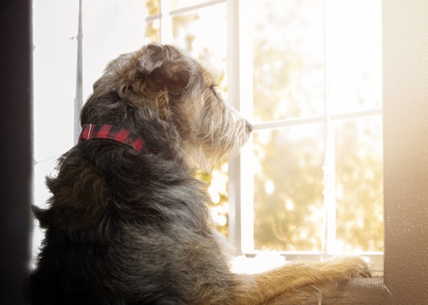 sad lonely dog looking out from window