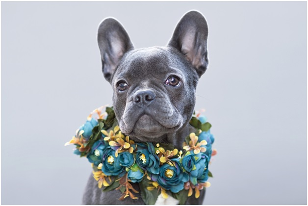 beautiful blue coated french bulldog in front of gray background