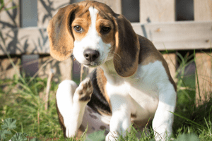 beagle puppy scratching at neck