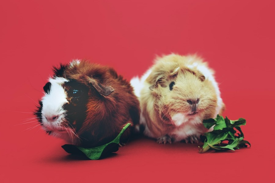 guinea pig nutrition featured image