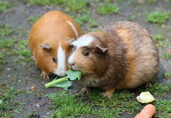 two guinea pigs eating vegetables outdoor