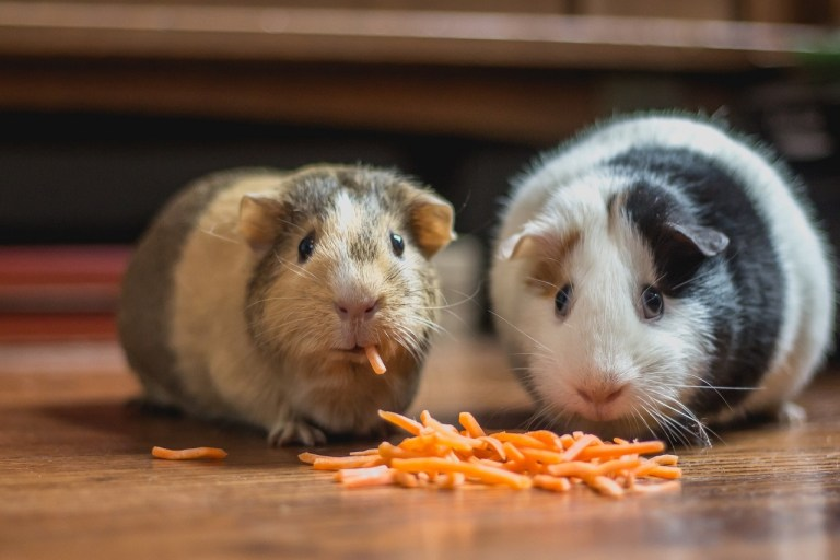 two guinea pigs eating dry food on floor