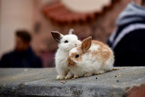 is owning a rabbit right for you featured image