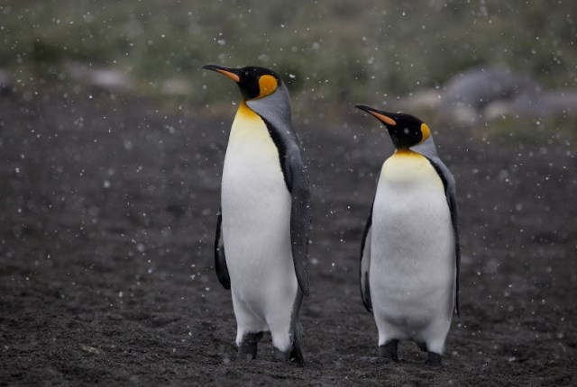 King Penguins   Travel to Antarctica   Hello Raya Blog
