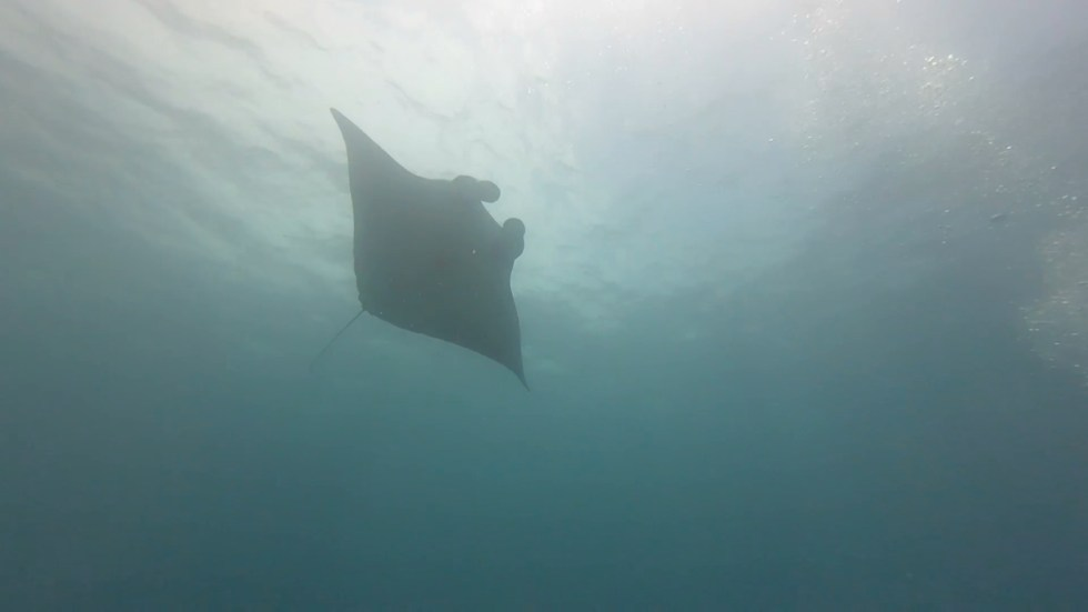 Ultimate Southeast Asia Bucket list - Experiences in Southeast Asia - Diving with Manta Rays | Hello Raya Blog