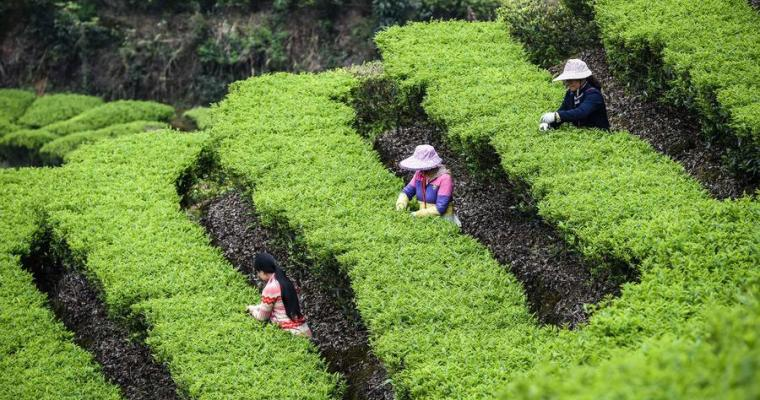 Highly Concentrated Tea Industry Is Destroying Communities