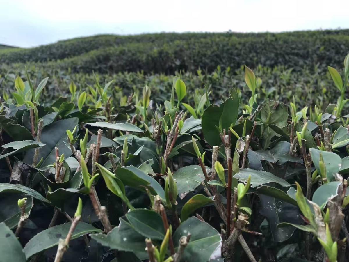 early spring tea buds qingming