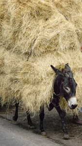 Donkey's burden of hay