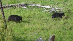 Bären beim Blacktail Plateau Drive