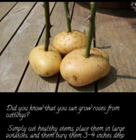 Grow Roses In Potatoes