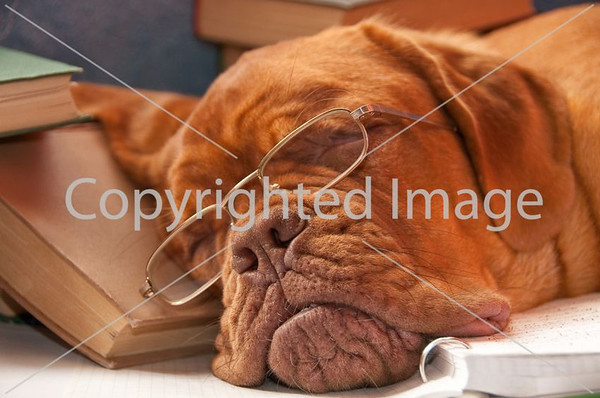 Watermarked wrinkly dog with glasses