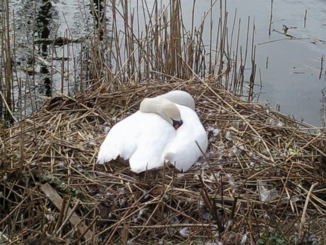 A swan in its nest