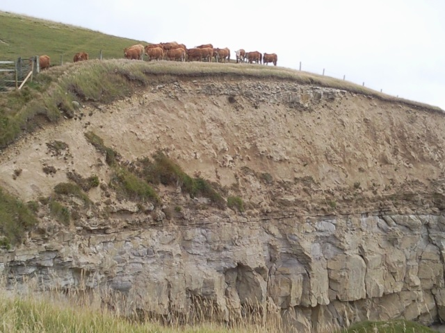 Cows atop a cliff with clearly differentiated limestone and clay strata