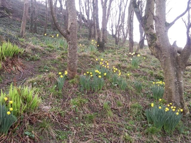 Daffodils on a wooded hillside