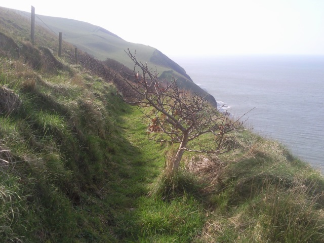 Stunted sessile oak on the cliff top