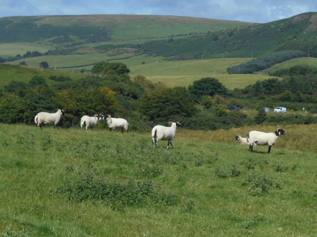 A flock of sheep with impressive horns