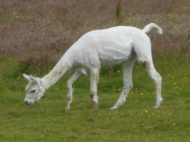 An alpaca