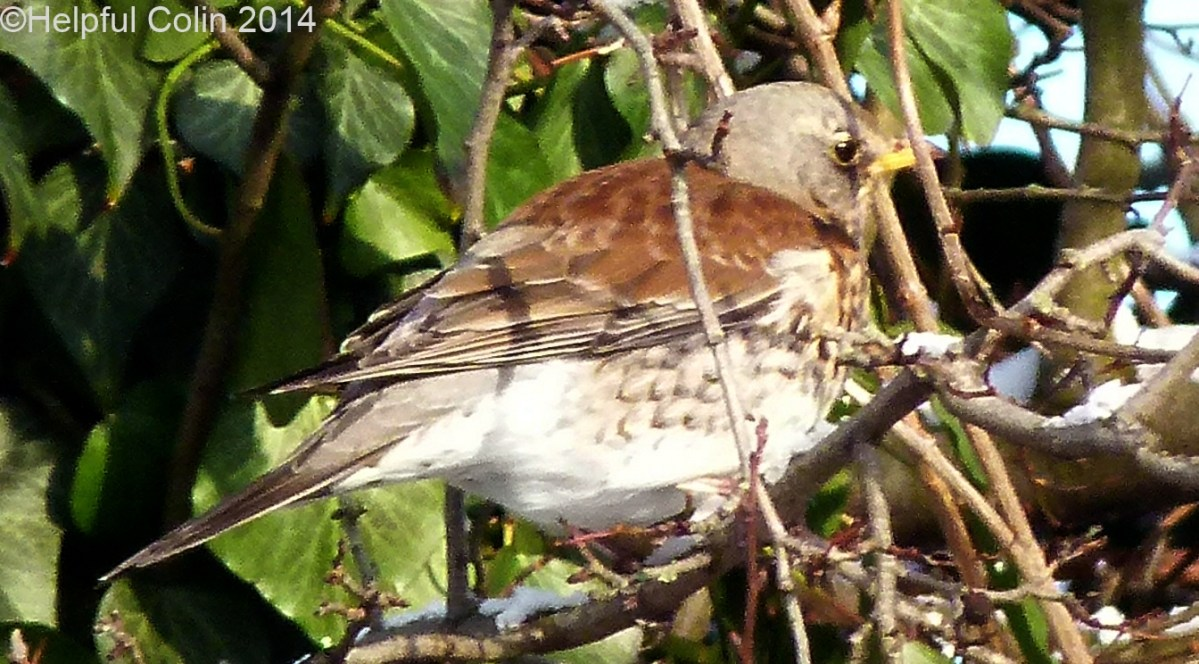 Fieldfares Visited Alvaston Derby In January 2013