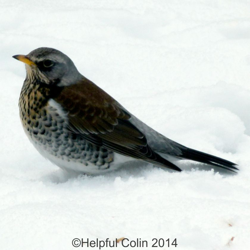 Fieldfares Visited Alvaston Derby