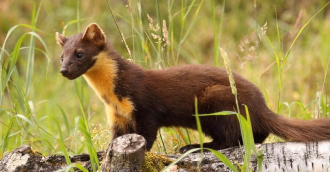 Pine Martens Are Saving The Red Squirrel