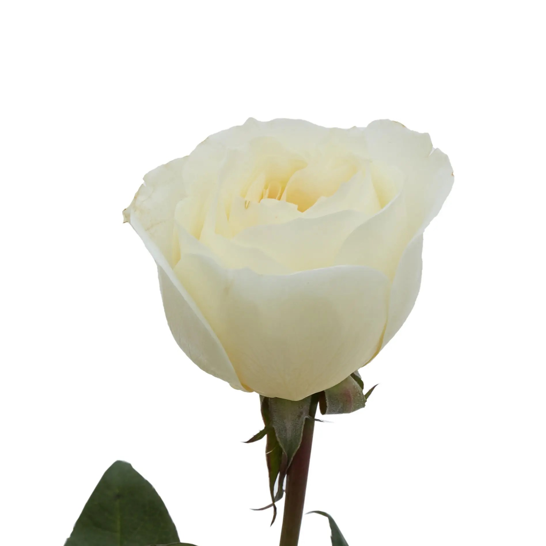 David Austin Roses0491