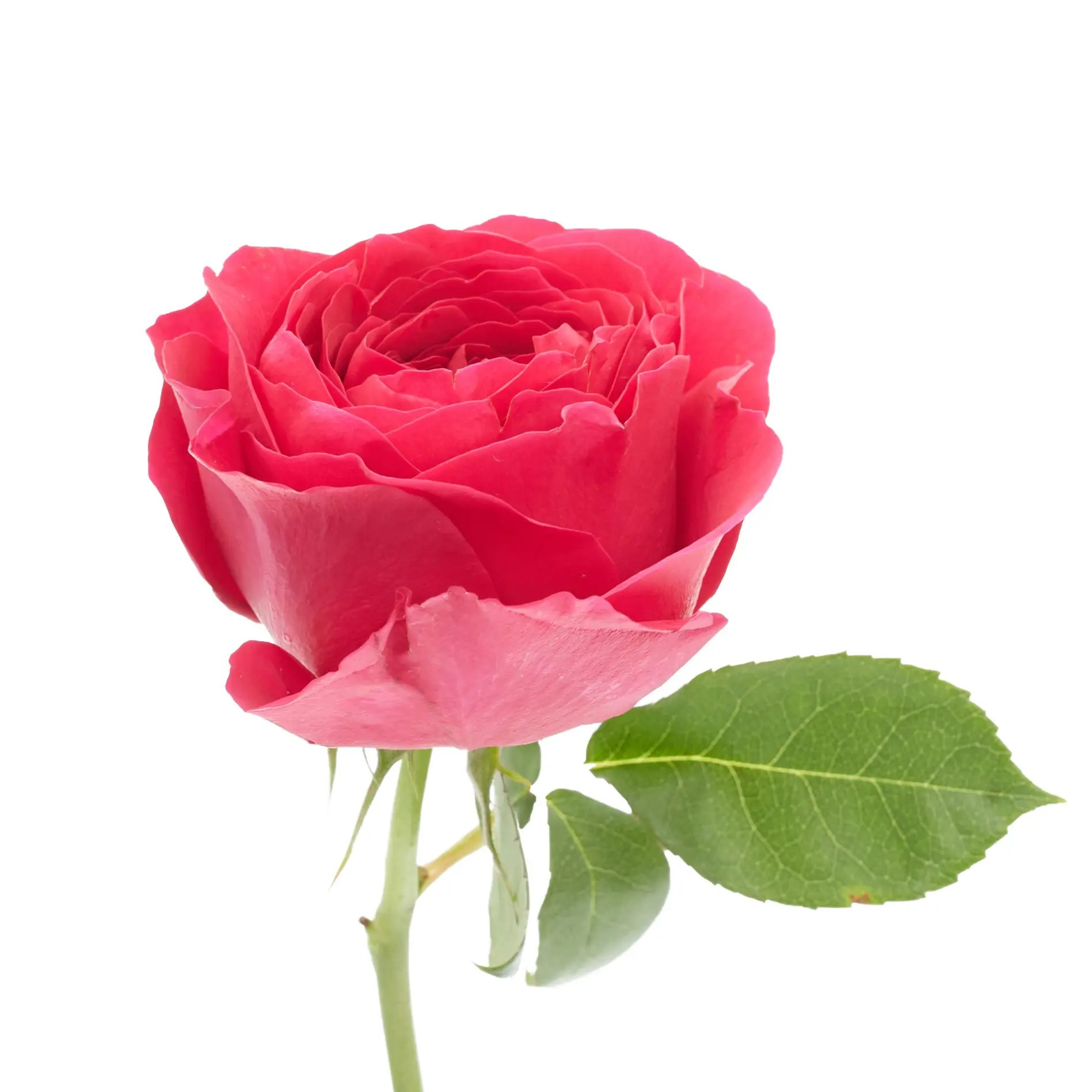 David Austin Roses0510
