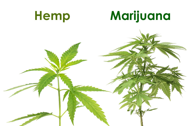 Hemp vs Marijuana: Physical Look