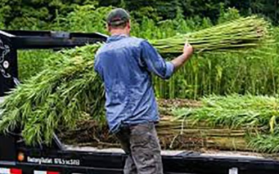Hemp poised to become major crop