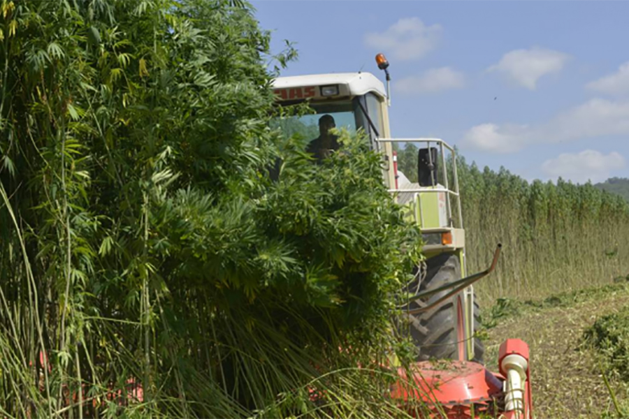 Hemp Ethanol is About Five Times Cheaper Than Gasoline
