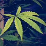 Coronavirus Crisis Shows Marijuana Is 'Essential' And Mainstream