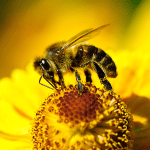 Cannabis and Honey Bees