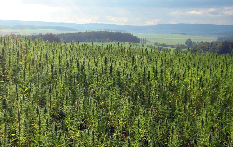 Hemp field in Czech Republic