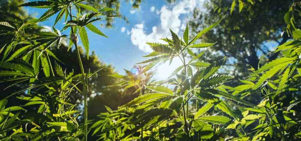 Is This Finally The Big Moment For Hemp?