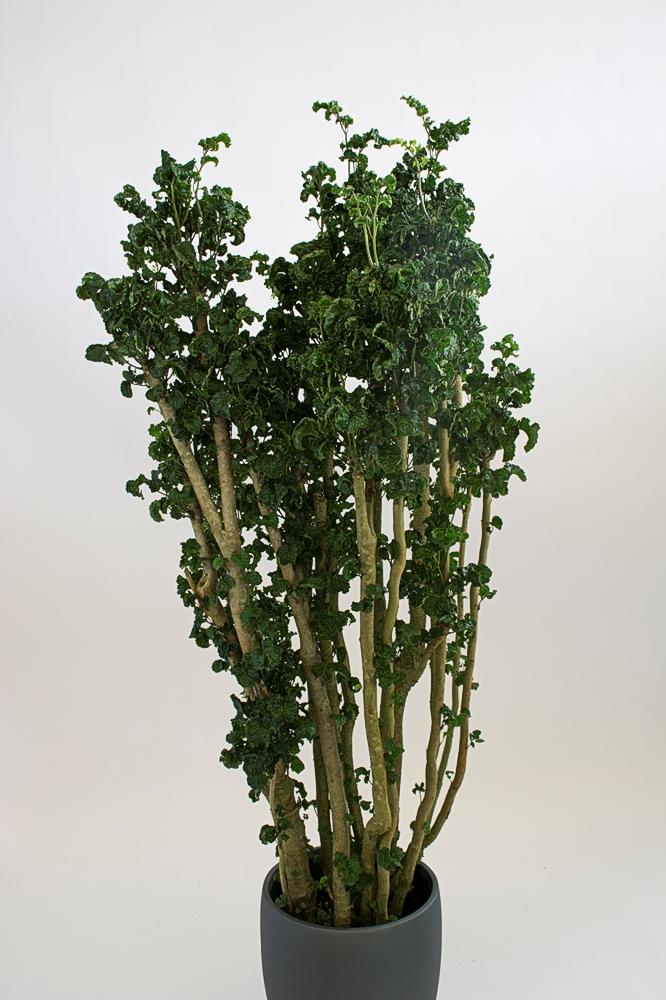 Polyscias Fruticosa / Ming Aralia