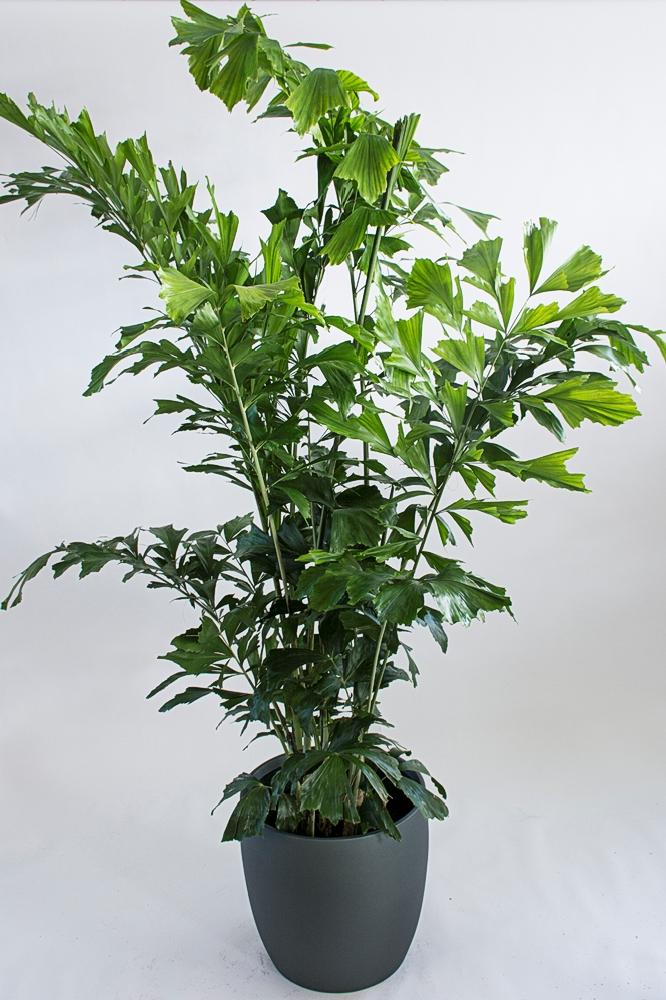 Caryota Mitis – Fishtail Palm