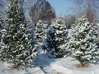 Recycle your Christmas tree in Hendersonville.