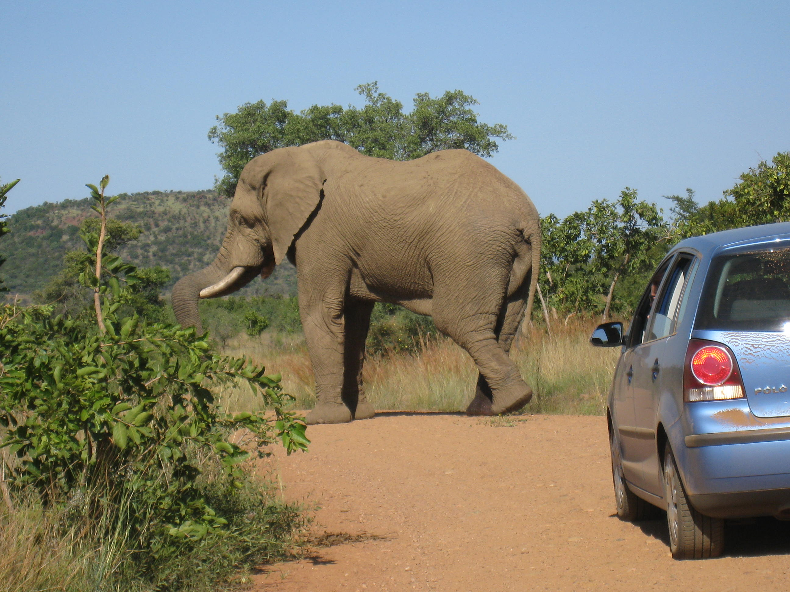 A Bull elephant in Pilanesburg National Park. Not going anywhere.
