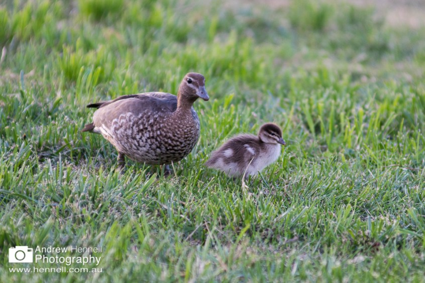 Australian wood duck and duckling